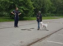 Roxy walking calmly on a loose lead - an incredibly long loose lead!